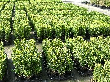 100 Buchsbaum Pflanzen Im Topf Buxus Sempervirens Höhe 10 15 Cm