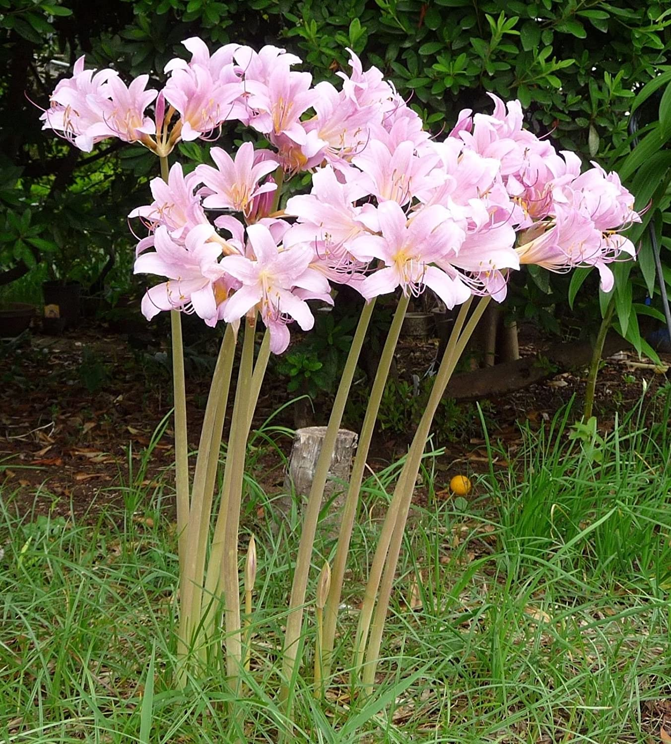 Amazon.com : 3 Bareroot Pink Spider Lily/ Surprise Lily/ Naked Lady Lily/  Resurrection Lily/ : Garden & Outdoor