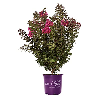 First Edition Plum Magic Crape Myrtle 3 Gal, Green : Garden & Outdoor