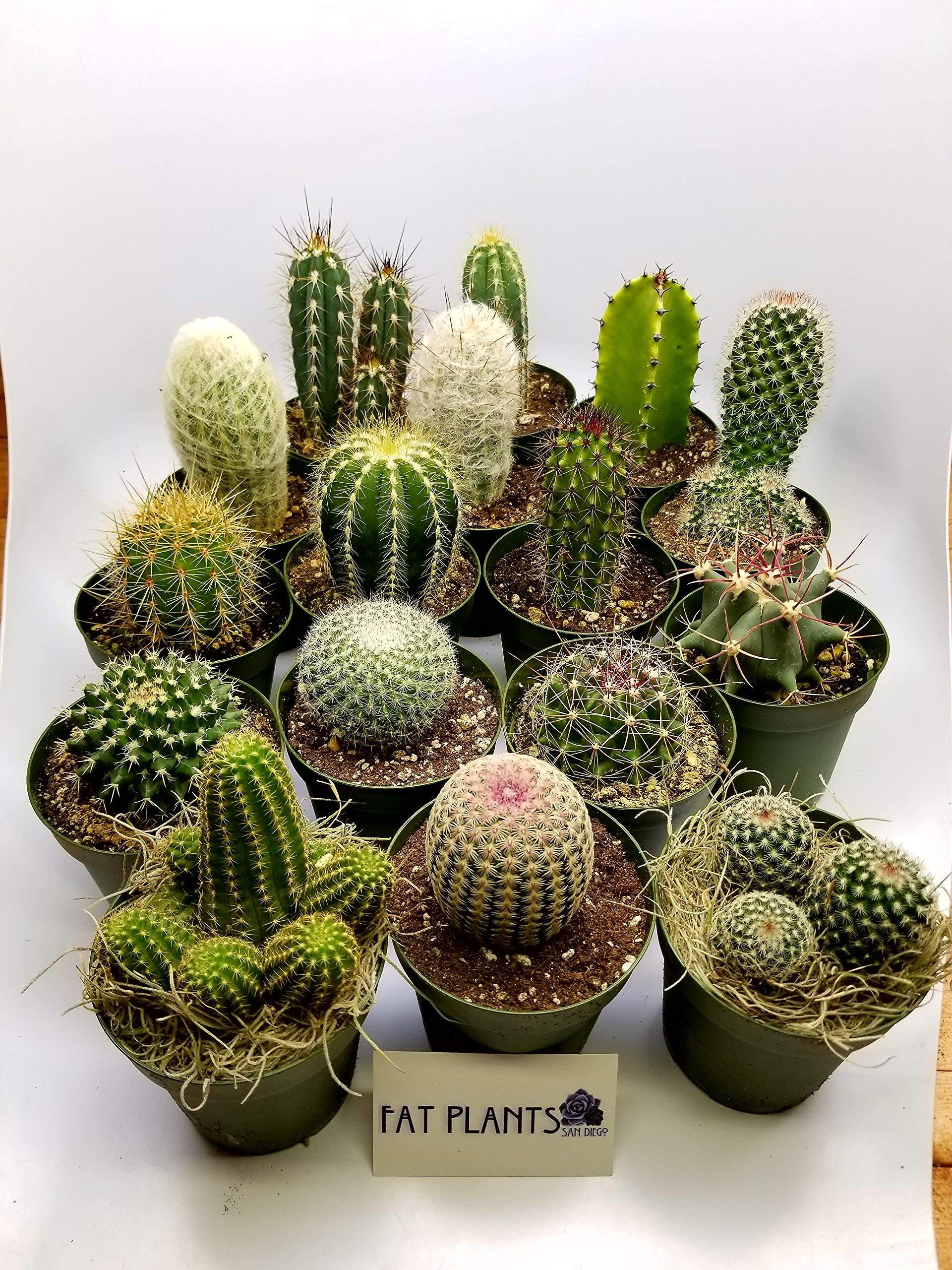 Fat Plants San Diego Large Cactus Plant(s) (5)