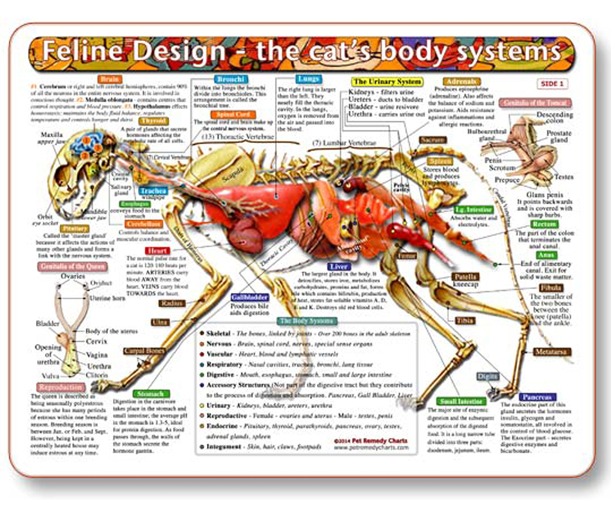 The Cat's Body Systems - A Double-Sided, UV Protected, Laminated Cat Anatomy Chart: A Learning and Teaching Chart For Veterinary Science Professionals, Veterninary Technicians, Cat Lovers and Breeders