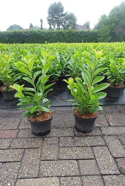 80 Stück Prunus Novita  30-40 cm Kirschlorbeer Novita Heckenpflanze in Topf