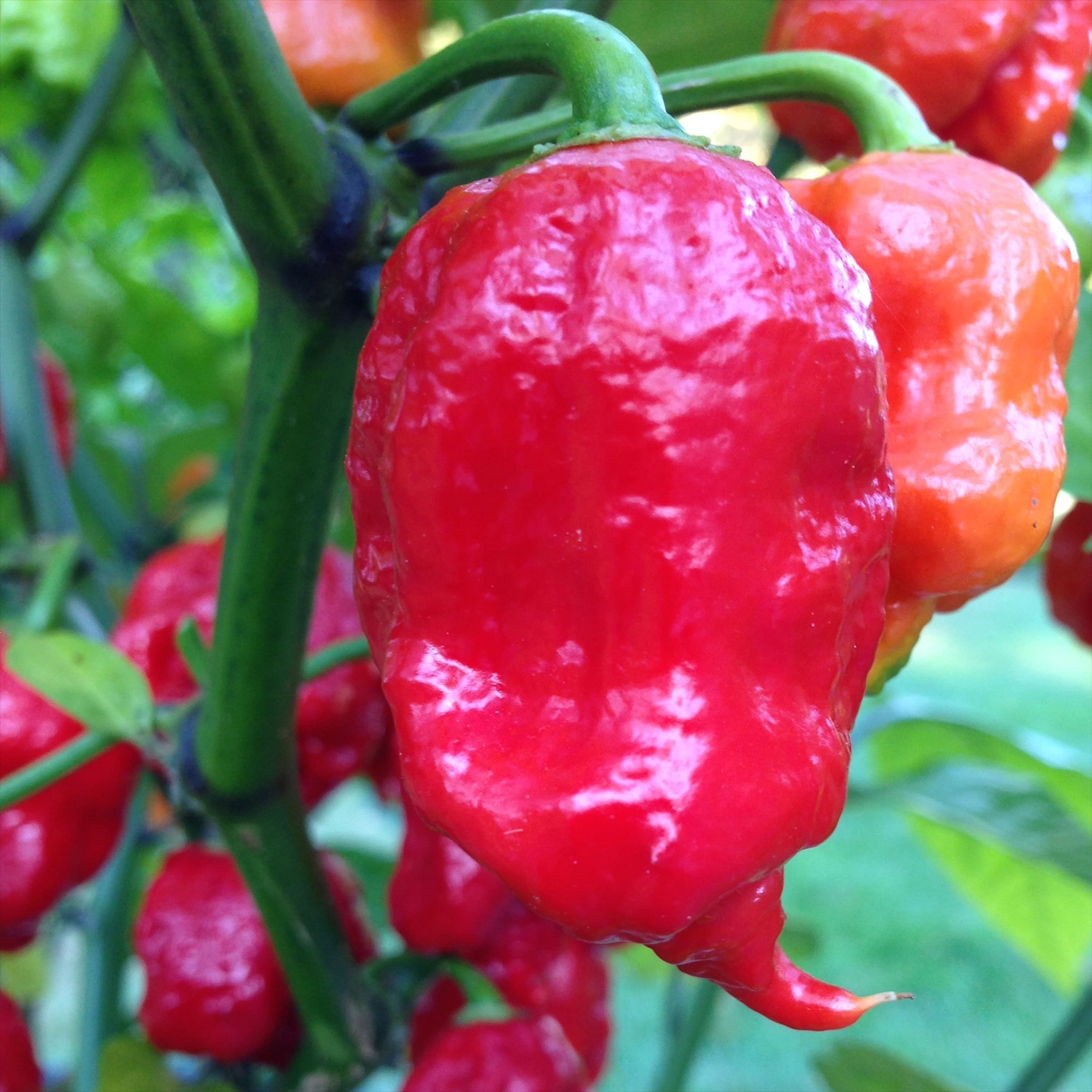 Wayland Chiles World's Hottest Chile Collection Grown in the USA, USDA Organic, 70 Seeds - 4 Varieties