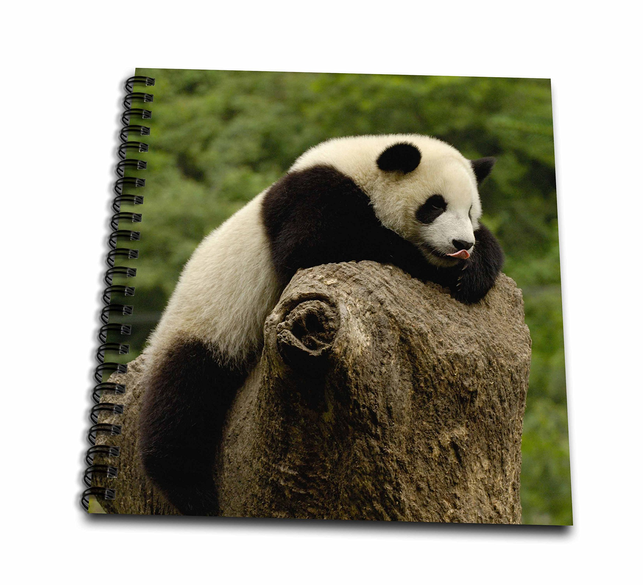 3dRose db_70207_1 Giant Panda Bears, Wolong China Conservation, China-As07 Pox0374-Pete Oxford-Drawing Book, 8 by 8-Inch