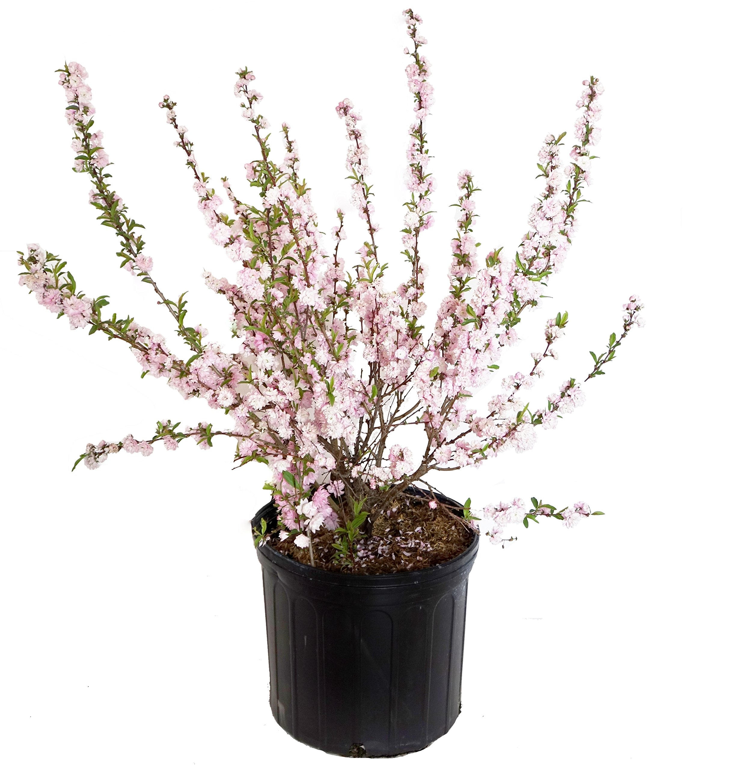 Prunus glandulosa 'Rosea' (Pink Flowering Almond) Shrub, #3 - Size Container by Green Promise Farms