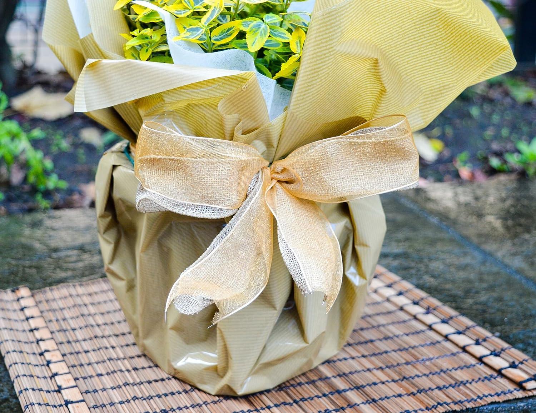 Golden Wedding Rose 50th Anniversary Rose Bush Gift Wrapped