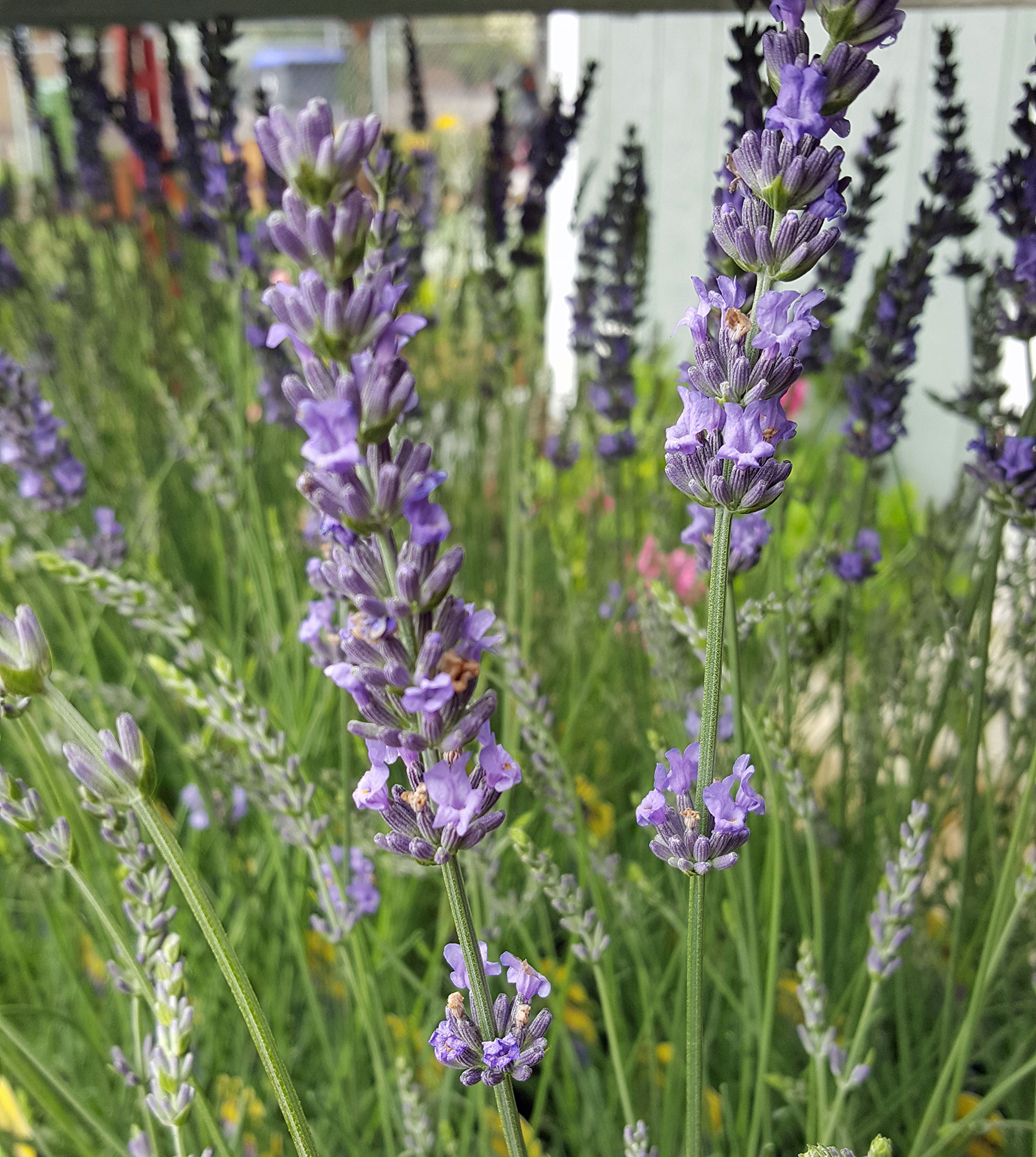 Findlavender - Lavender Plant Phenomenal - 4'' Size Pots - Zones 5 - 10 - Bee Friendly - Attract Butterfly - Evergreen Plant - 18 Live Plants by Findlavender