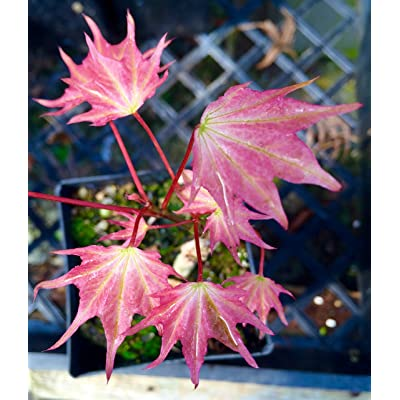 Usugumo Variegated Batwing Maple. The most sought after maple in existence 2 - Year Live Plant : Garden & Outdoor