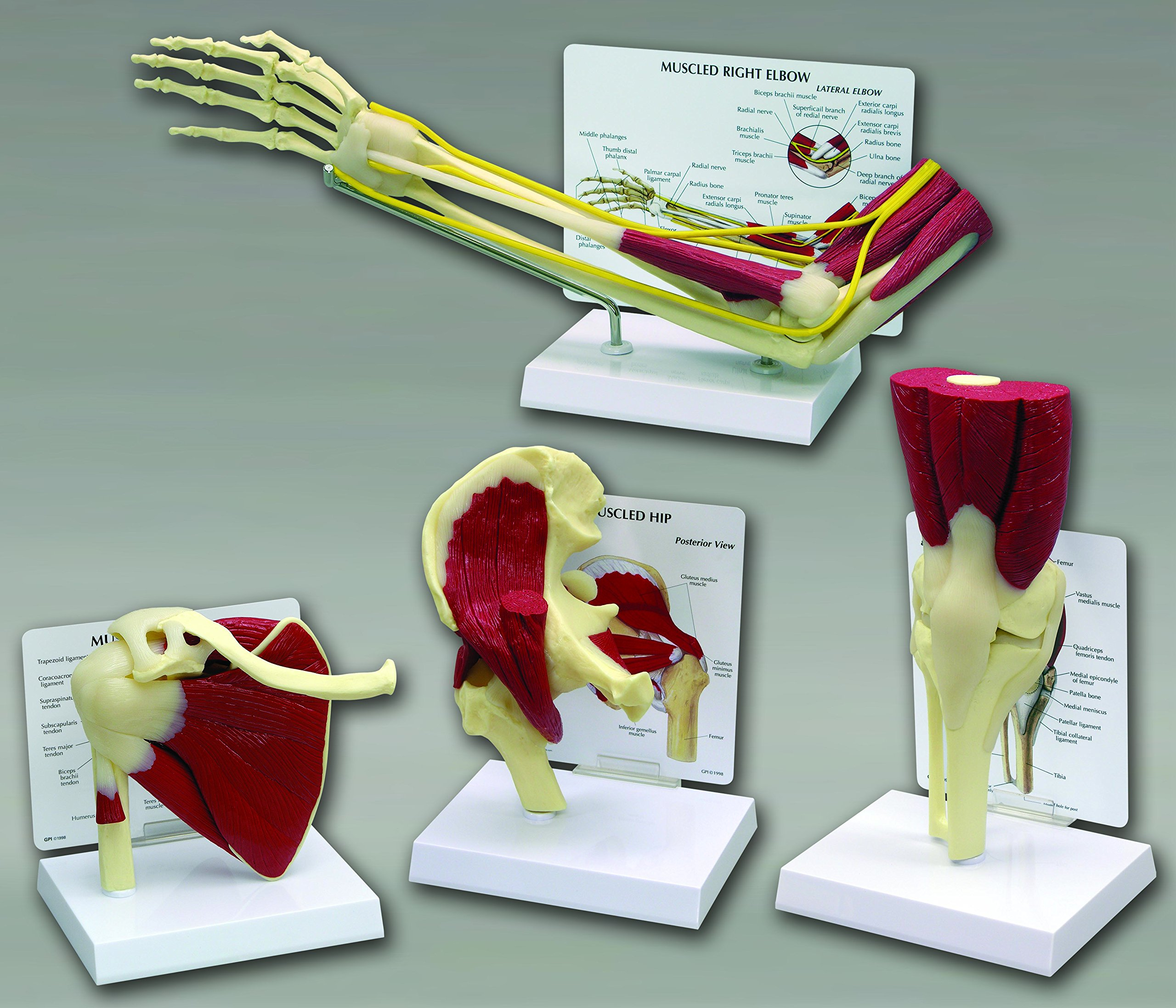 Muscled Shoulder Bone Joint Anatomical Classroom Education Model CEM