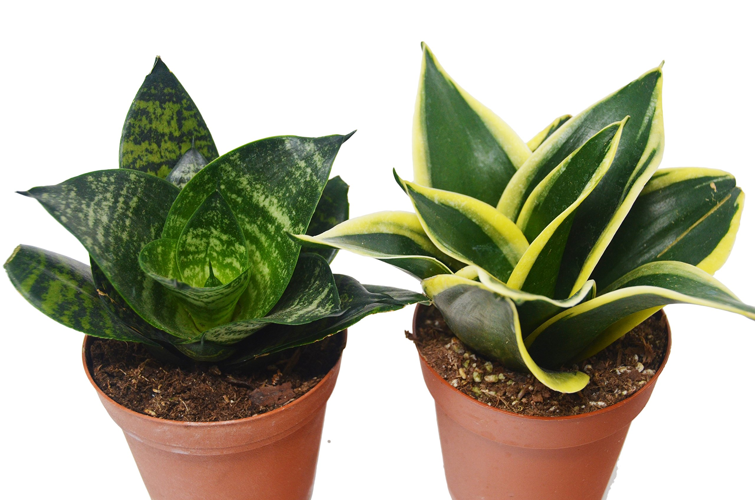 2 Different Snake Plants in 4'' Pots - Sansevieria - Live Plant - FREE Care Guide