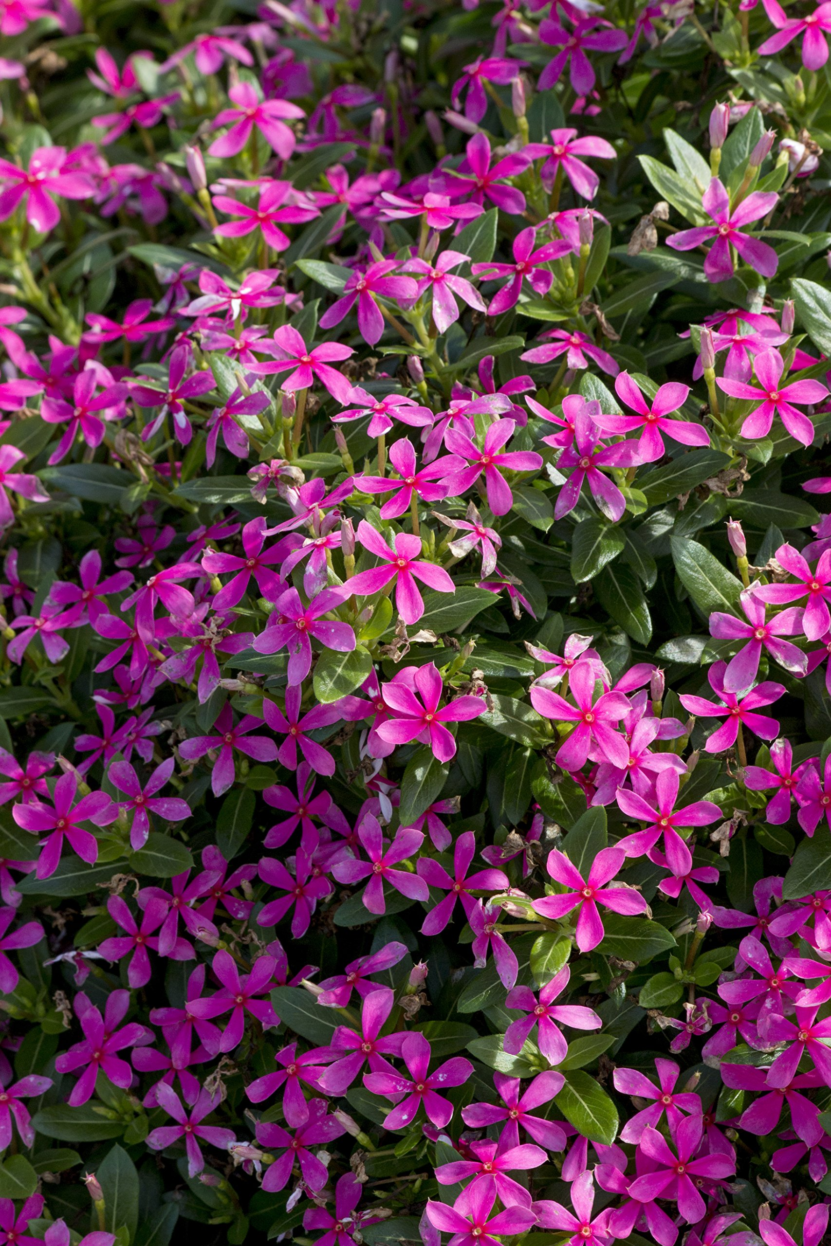 Costa Farms Catharanthus, Live Outdoor Flowering Plants, 12-Pack, Pink by Costa Farms (Image #1)