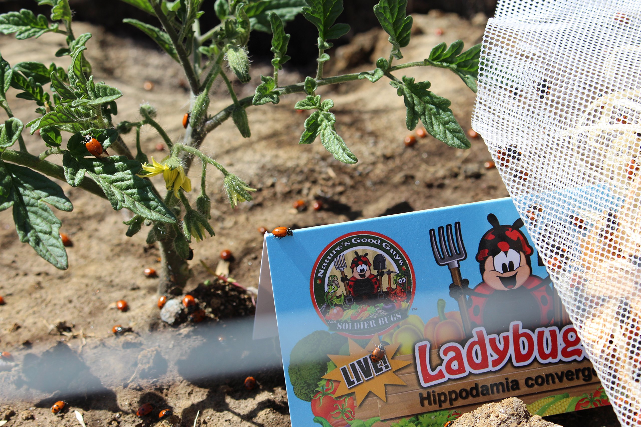 4,500 Live Ladybugs - Good Bugs - Guaranteed Live Delivery!
