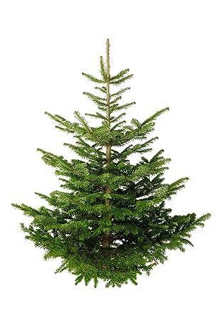 Nordmanntanne Weihnachtsbaum.Echter Premium Weihnachtsbaum Nordmanntanne Tannenbaum Christbaum Frisch Geschlagen 1 Wahl Versch Größen 125 150 Cm