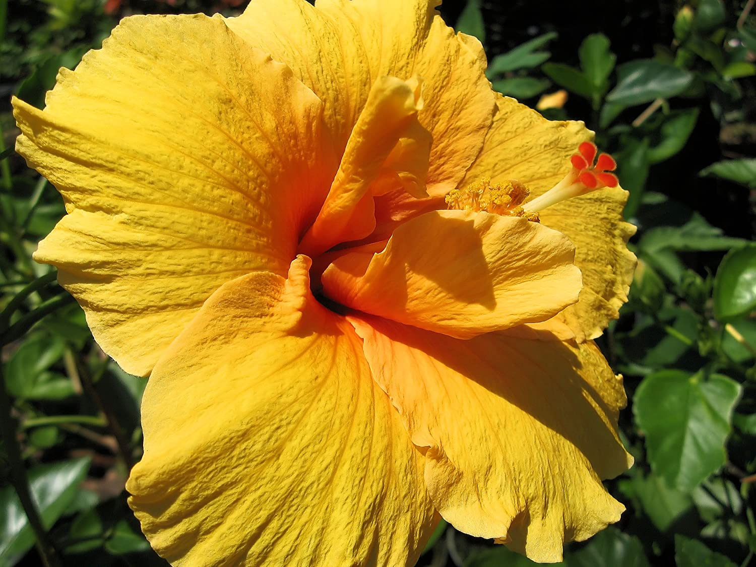 Amazon joann tropical hibiscus live plant large golden orange amazon joann tropical hibiscus live plant large golden orange red single sometimes crested flowers starter size 4 inch pot emeralds tm garden izmirmasajfo