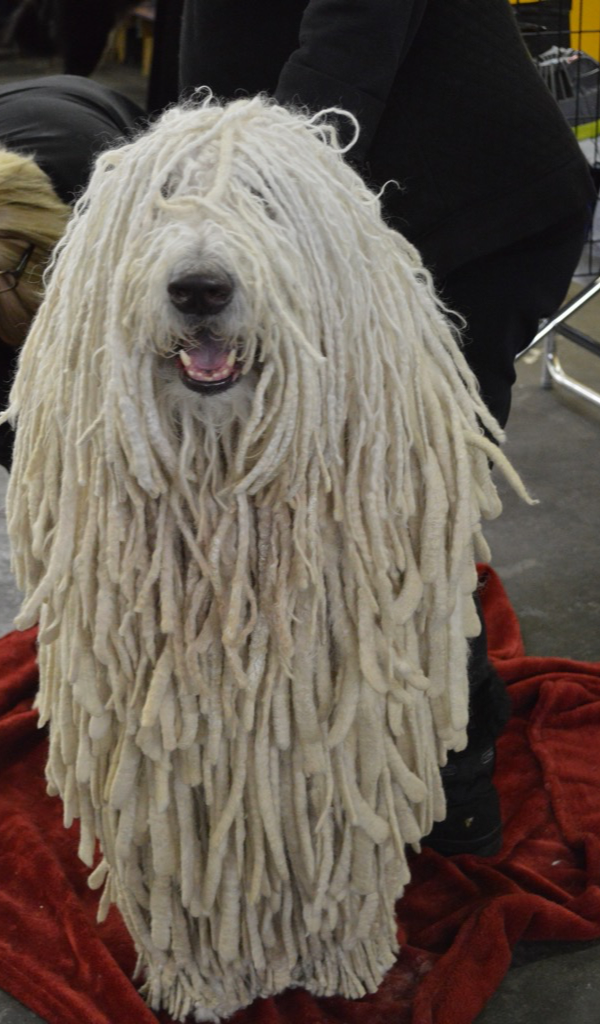 Amazon.com: Komondor Mop Dog Wallpaper -- HD Wallpapers of