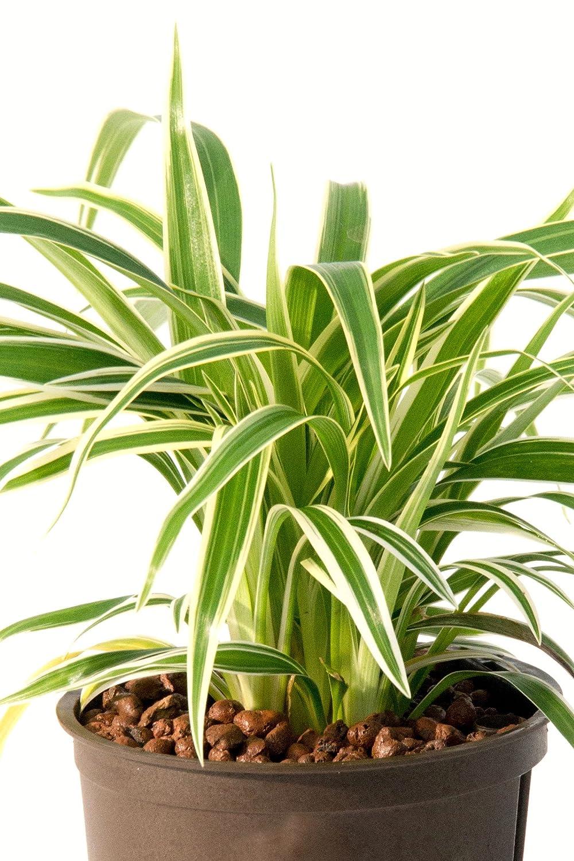 Berühmt Grünlilie 20-25 cm in Hydrokultur 11/9er Kulturtopf pflegeleichte @WZ_75
