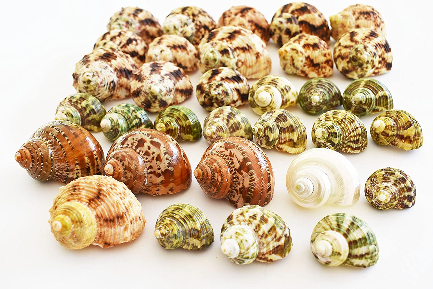 Florida Shells and Gifts Inc. FSG - 30 Select Hermit Crab Shells Lot 3/4-2' size (opening 5/8-1') Seashells - Includes Polished Tapestry Turbos, Silver Turbos, Silver Mouth Turbos and more.
