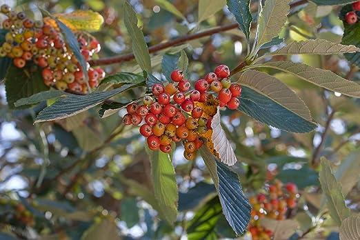 Asklepios-seeds® - 100 graines de Sorbus aria,Alisier blanc ...