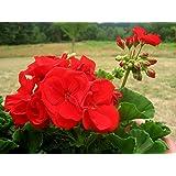 ROOKHRAJ PAUDHSHALA Geranium (Red Flowers) Live Plant, Pelargonium Live Plant