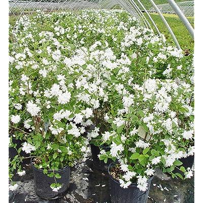 Philadelphus 'Buckley's Quill' (Mock Orange) Shrub, white flowers, #3 - Size Container : Garden & Outdoor