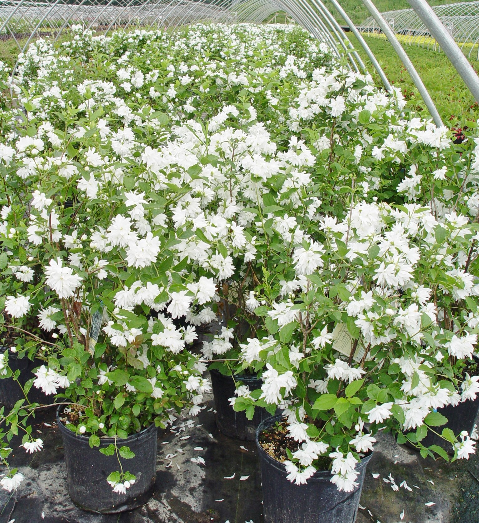 Philadelphus 'Buckley's Quill' (Mock Orange) Shrub, white flowers, #3 - Size Container by Green Promise Farms