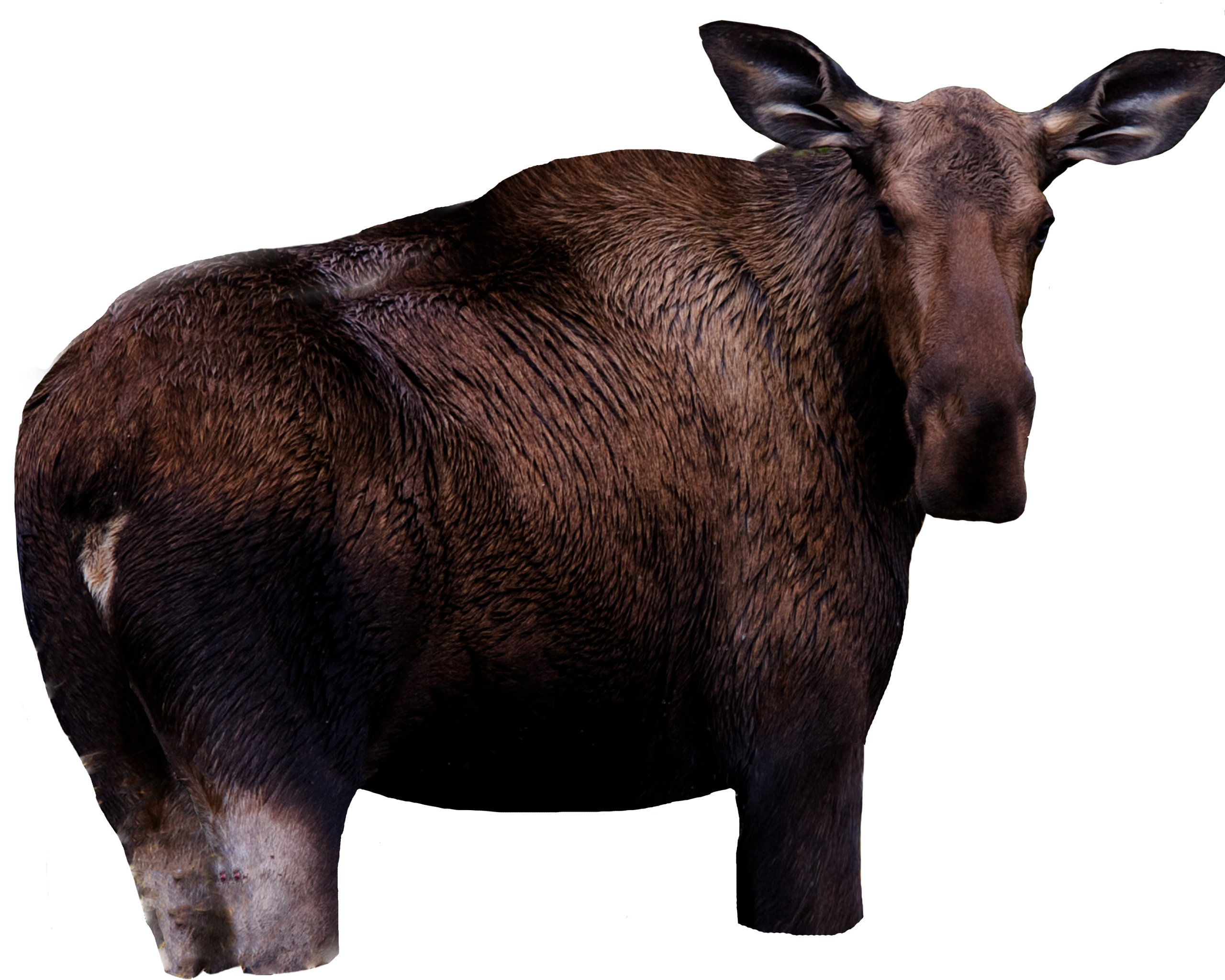 Moose II by Montana Decoy by MONTANA DECOY (Image #1)