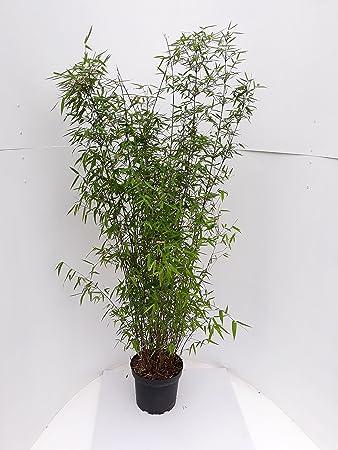 2 Bambus 140 150 Cm Fargesia Jiuzhaigou Genf Winterhart Und