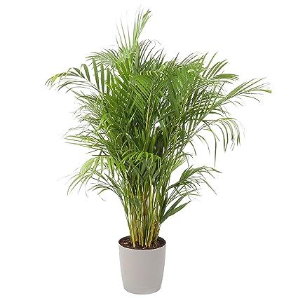 amazon com costa farms areca butterfly palm tree live indoor