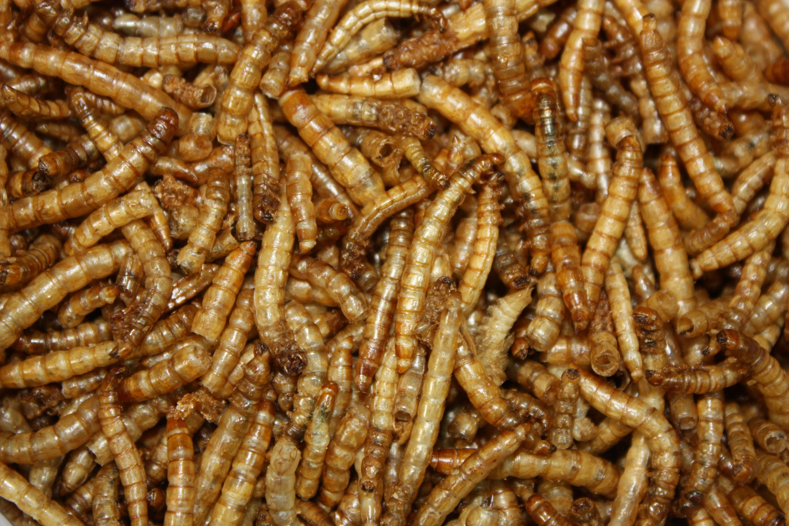 11 Lbs Tasty Worms Bulk Freeze Dried Mealworms Approx. 176,000ct by Tasty Worms (Image #2)