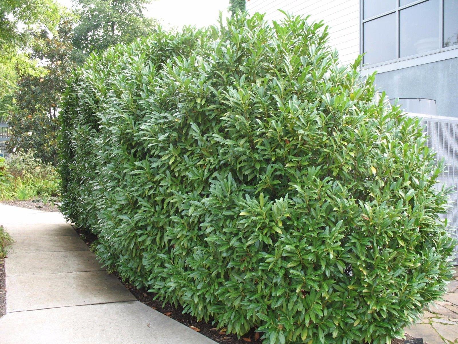 25 Schip Laurel Shrub - hedge Prunus Laurocerasus Schipkaensis