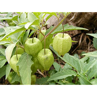 HOT - Ground Cherry Seeds, Ground Cherry, Heirloom, Physalis Seeds, Fruit Seeds, Heirloom Seeds, Container Garden, Vegetable Seeds, Seeds, Annual Seeds : Garden & Outdoor