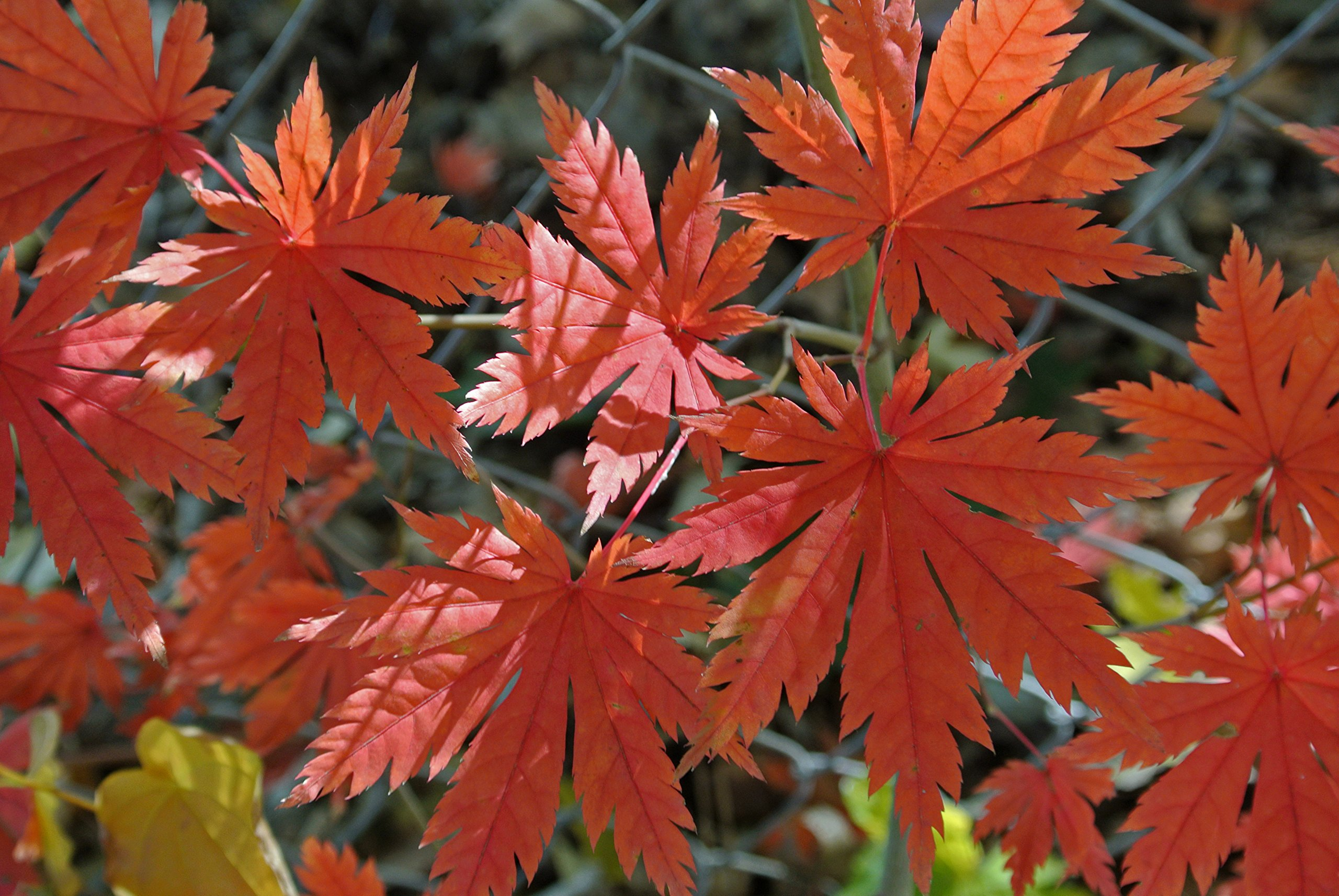 Korean Maple - Tolerates Extreme Cold, Surviving In Climates Where Japanese Maples Cannot, Hardy to -40F - 2 Year Live Plant by Japanese Maples and Evergreens (Image #1)