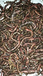Amazon.com: European Nightcrawlers, 1 LB Live Worms: Garden ...