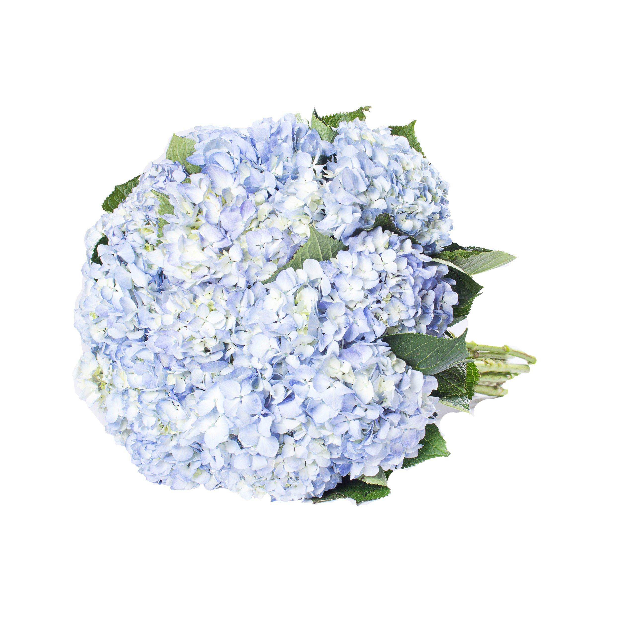 Farm Fresh Natural Blue Hydrangeas- Pack 30 by Bloomingmore