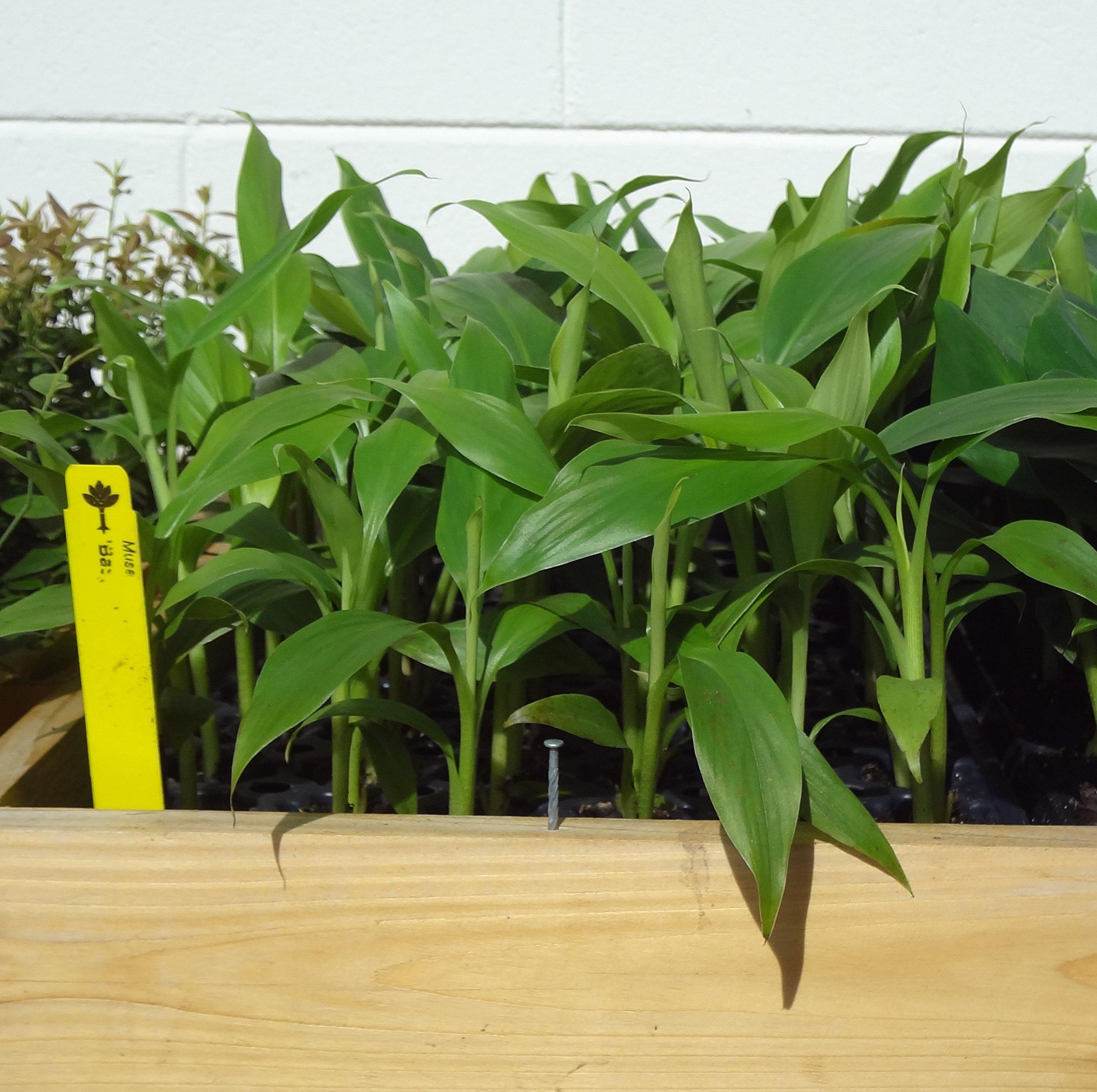 Banana Plants''Basjoo'' Includes Four (4) Plants COLD HARDY by Hello Organics