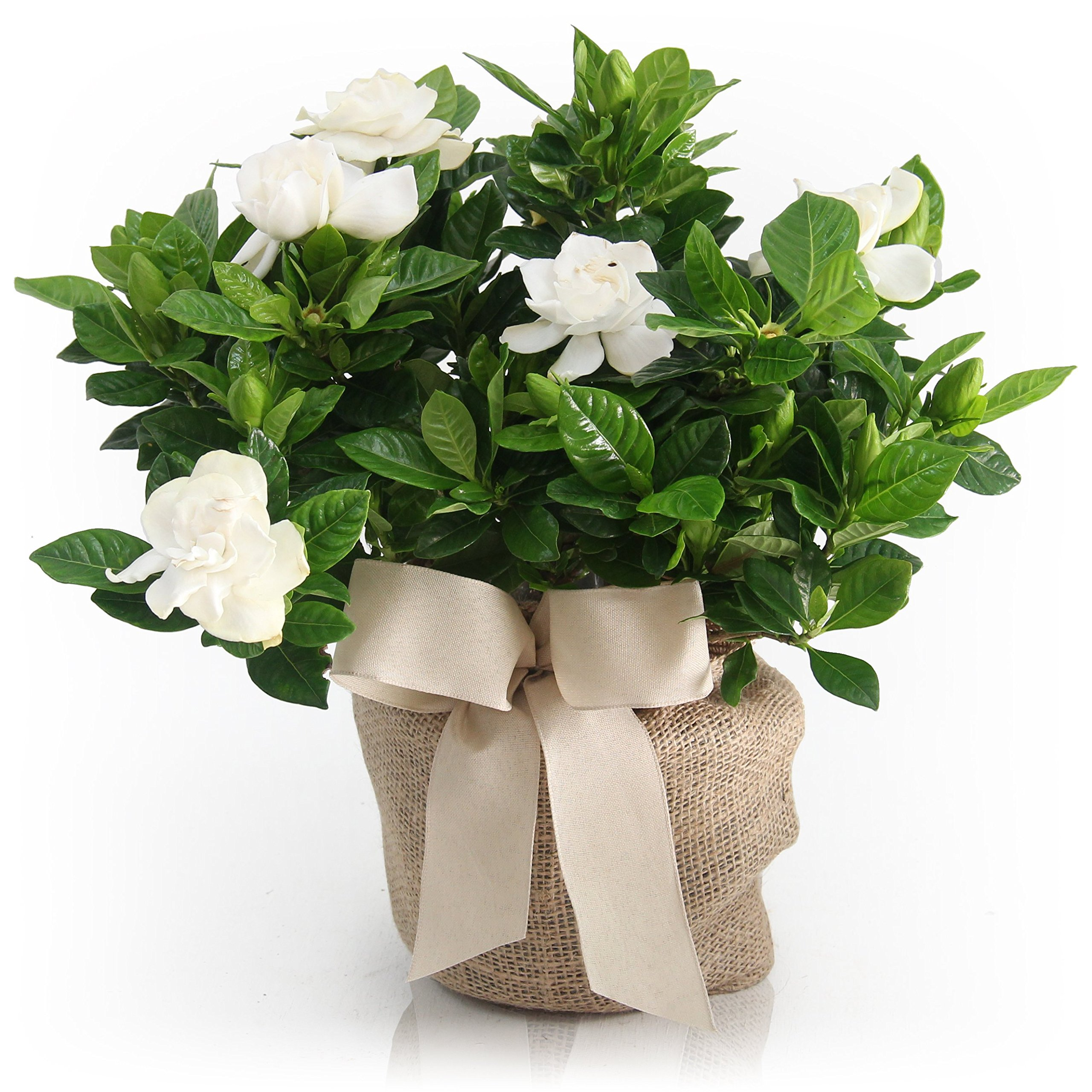 Housewarming Medium Gardenia Gift Tree - Sweet Fragrance with Beautiful Blooms By The Magnolia Company
