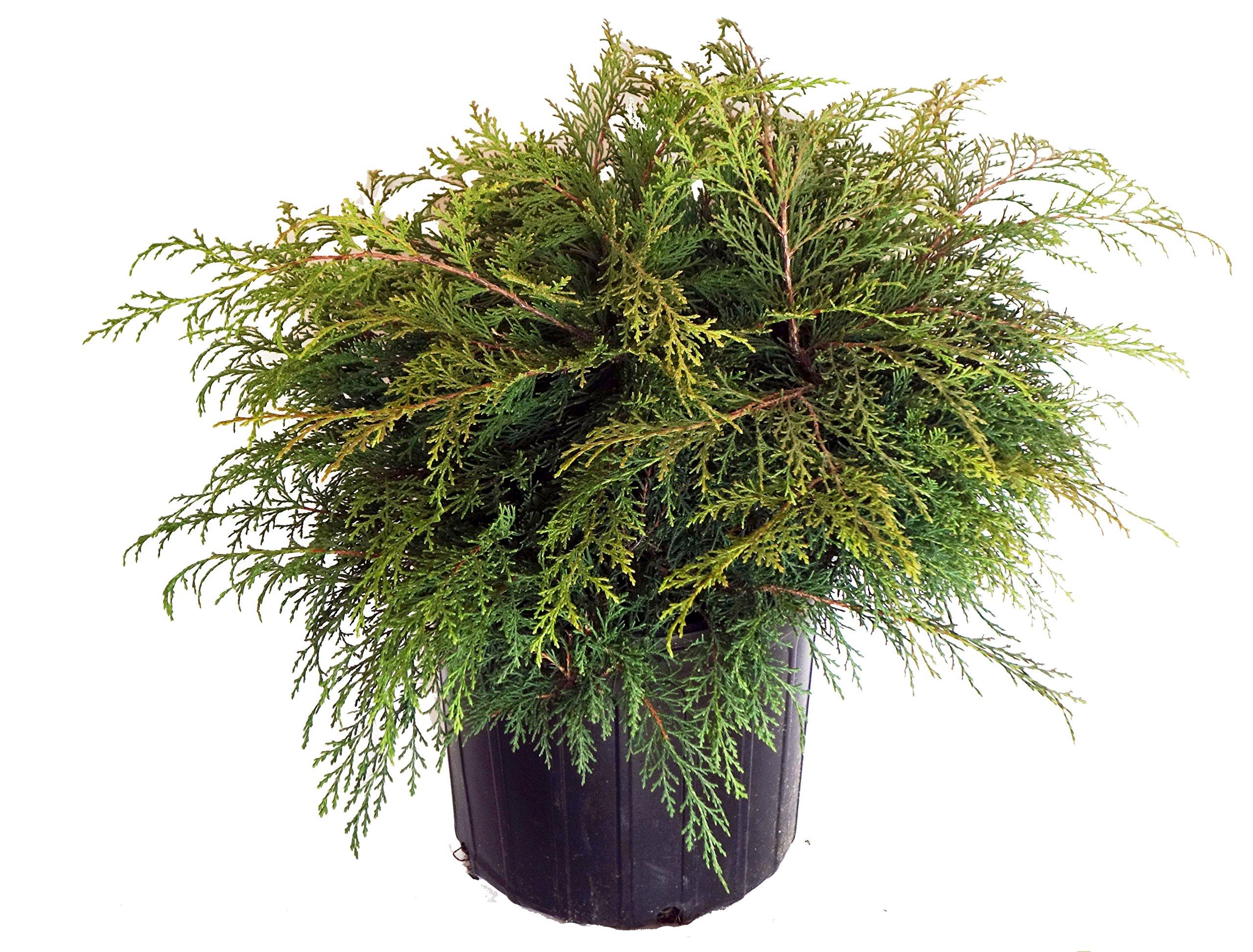 Microbiota decussata (Russian Cypress) Evergreen, #3 - Size Container