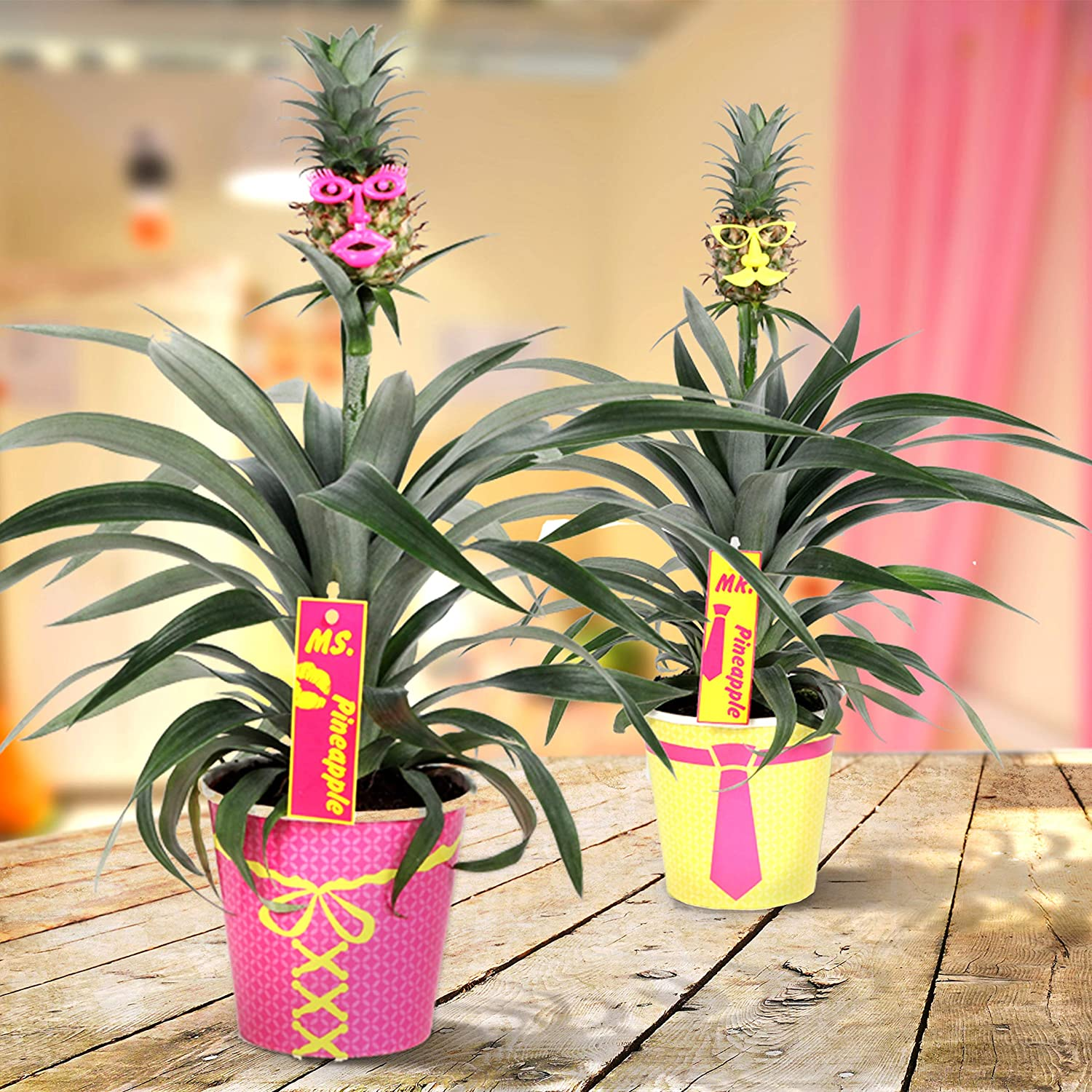 Quality from Holland Fresh from The Grower Pot Diameter 12 cm -Height 38 cm Live Indoor Plant Breasy/®- Bromeliad Pineapple Plant Corona- Live Indoor Plant Growers Pot