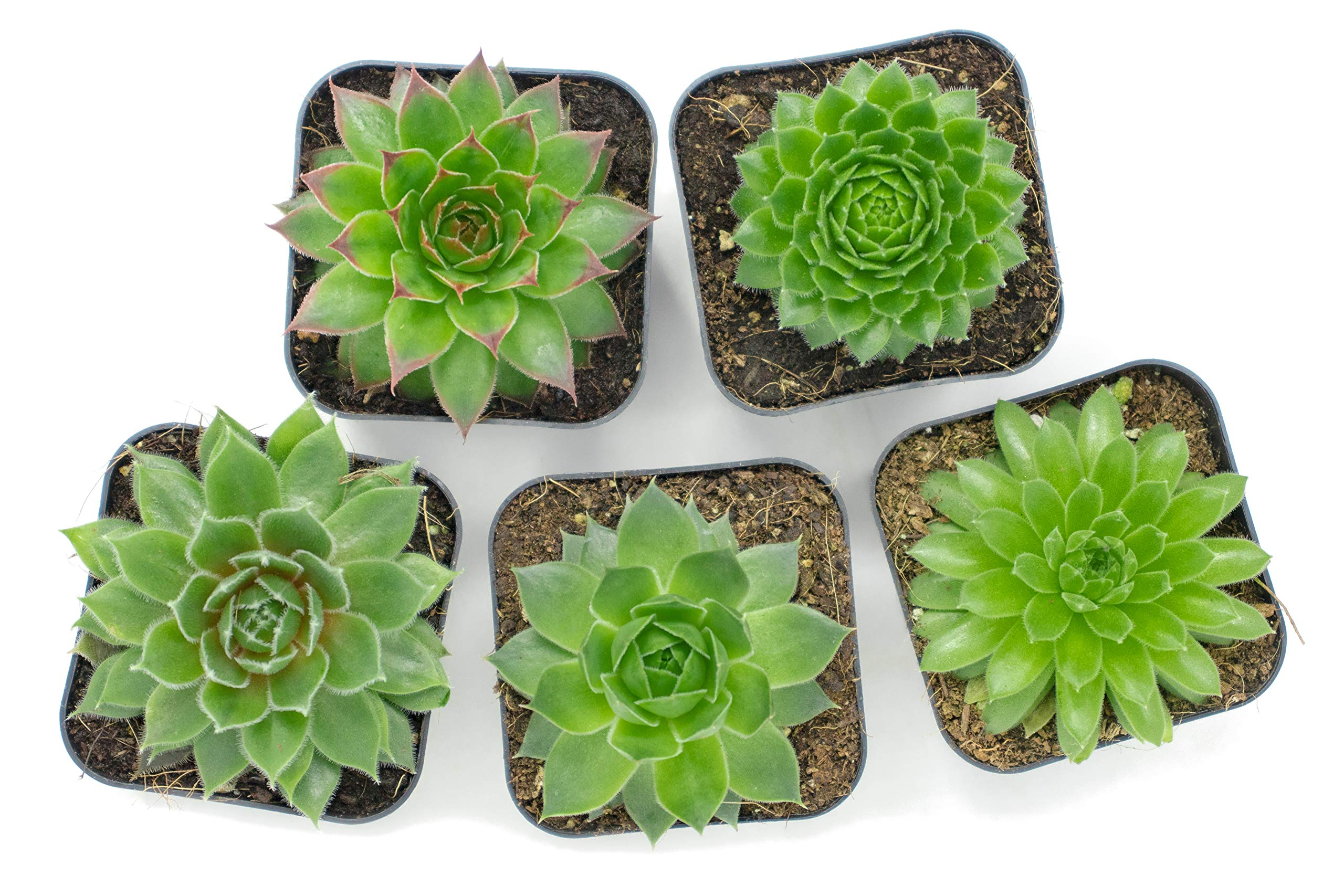 Succulent Plants | 20 Sempervivum Succulents | Rooted in Planter Pots with Soil | Real Live Indoor Plants | Gifts or Room Decor by Plants for Pets by Plants for Pets (Image #6)