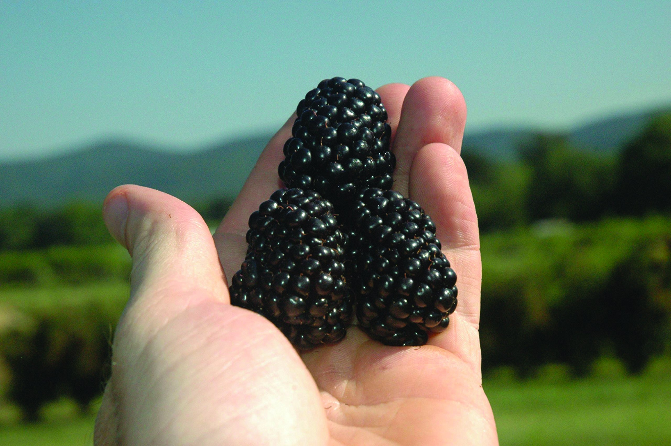 Burpee Thornless Blackberry Prime-Ark 'Freedom' shipped as FIVE BARE ROOT PLANTS by Burpee (Image #4)