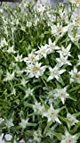 lichtnelke - Edelweiß ( Leontopodium alpinum )