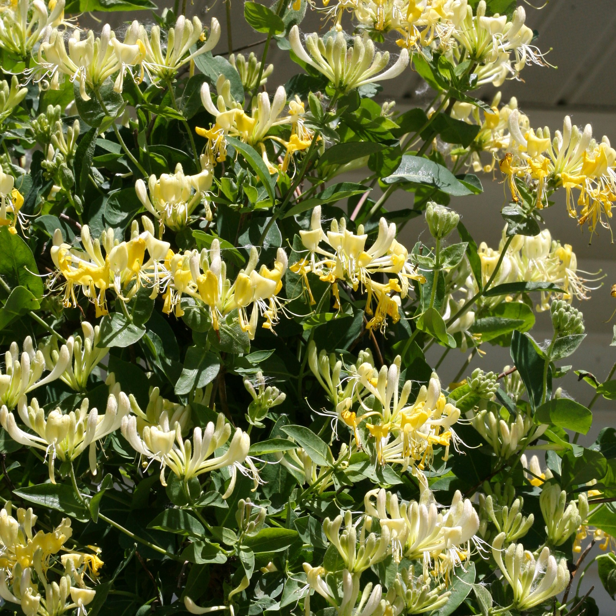 Scentsation Honeysuckle (Lonicera) Live Shrub, Yellow Flowers and Red Berries, 1 Gallon by Proven Winners (Image #8)