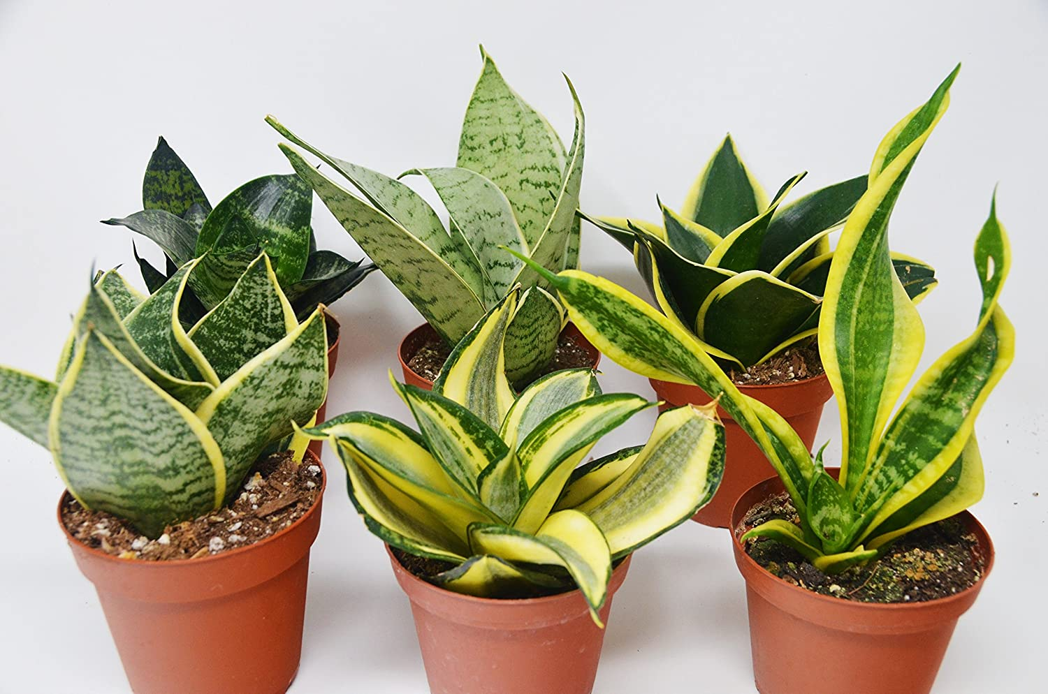 6 Different Snake Plants in 4 Pots Sansevieria Live Plant FREE Care Guide