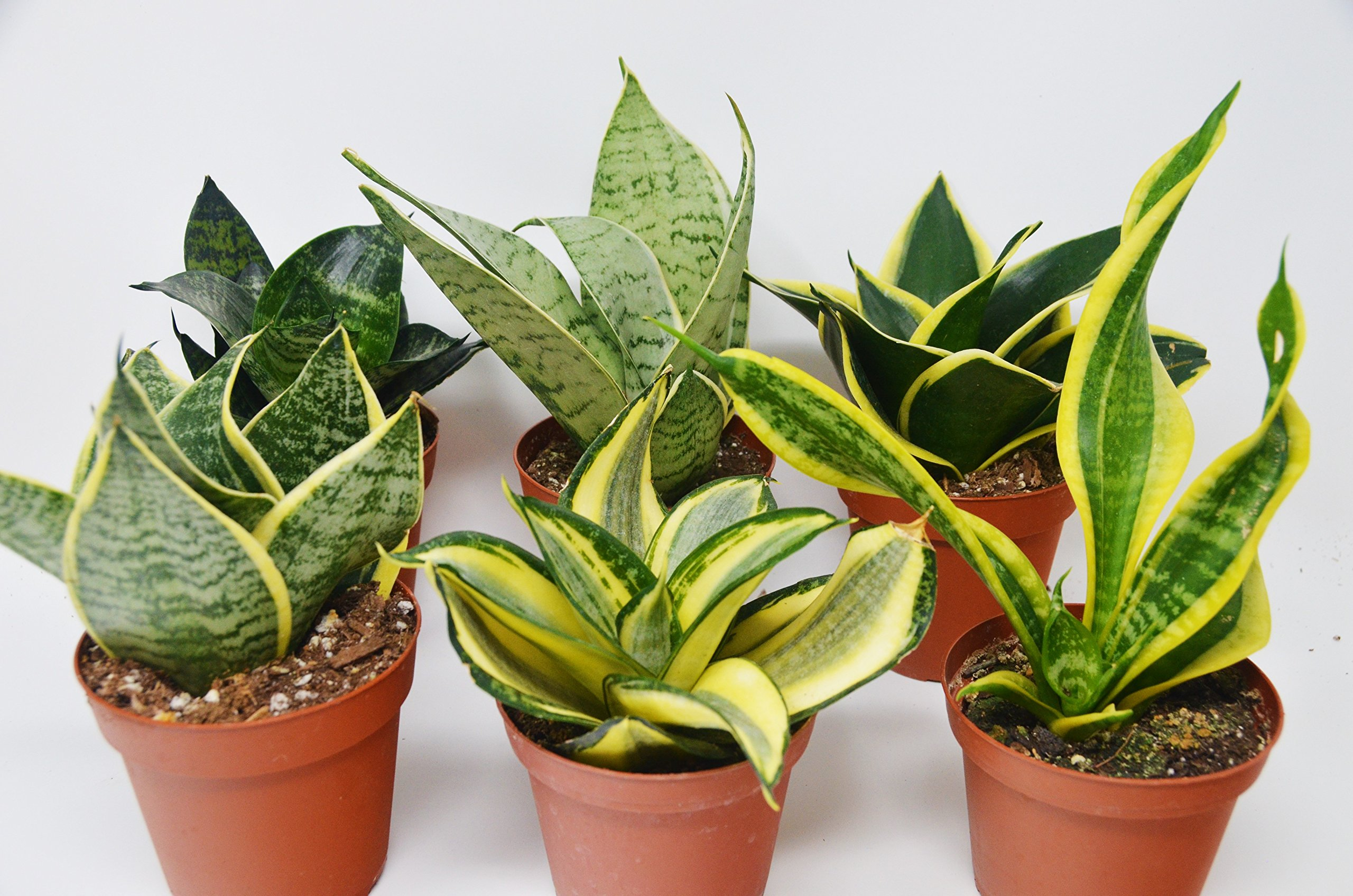 6 Different Snake Plants in 4'' Pots - Sansevieria - Live Plant - FREE Care Guide by House Plant Shop