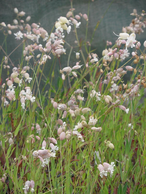6 Pflanzen im 5//6 cm Topf Silene vulgaris Taubenkropf-Leimkraut