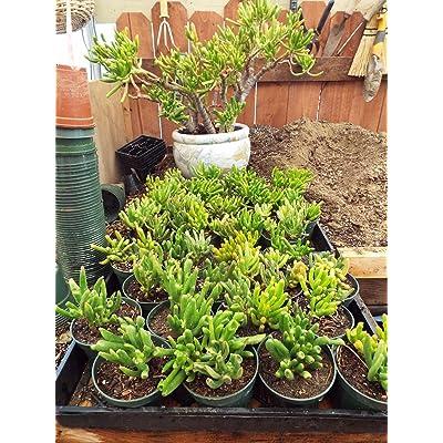 1 Rooted Plant of Crassula Ovata Gollum - Gollum Jade Succulent Cactus : Garden & Outdoor