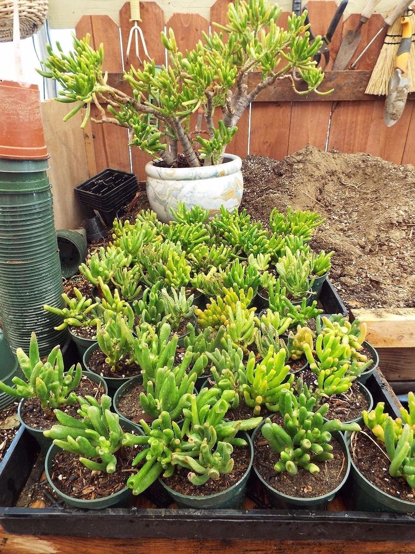 Crassula ovata 'Convoluta Gollum' Gollum Jade,Trumpet Jade Succulent Plant 6cm