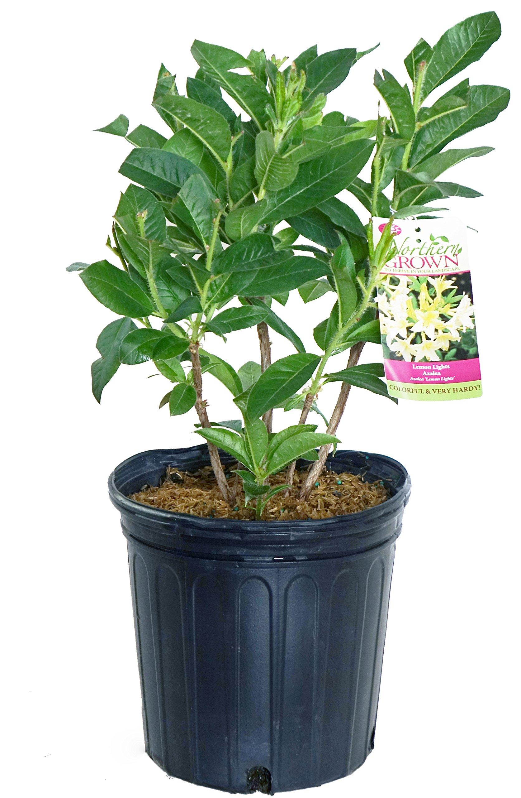 Azalea 'Lemon Lights' (Exbury Hybrid) Shrub, Yellow Flowers, 2 - Size Container