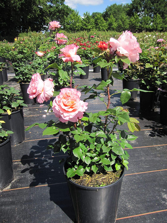 Edelrose Augusta Luise/® Baumschule Pflanzenvielfalt Rosa Augusta Luise/®