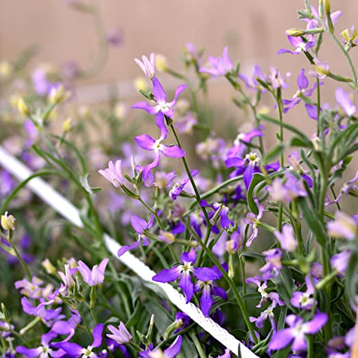 Night-Scented Stock, Evening Stock seeds - Matthiola ...